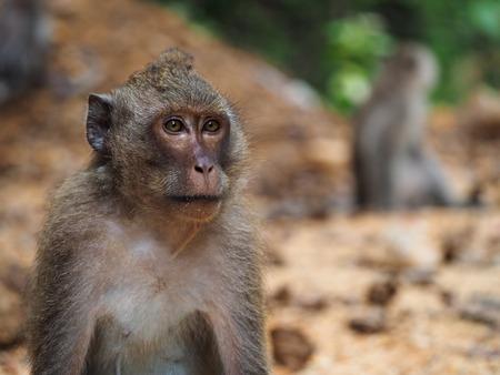 primates: ape in Koh Chang Stock Photo