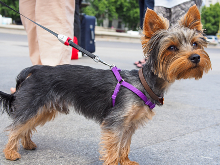 dog grooming: small yorkshire terrier with leash Stock Photo