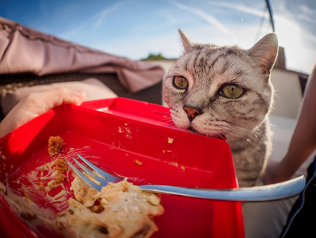 a hungry British shorthair cat