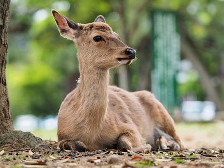 unharmed: Portrait of deer in Nara