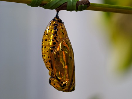 Golden Pupal macro Stock Photo