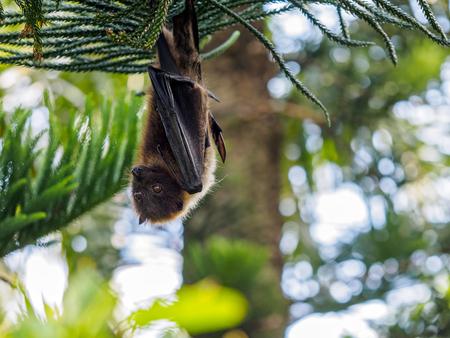 Fruit bat in Ishigaki