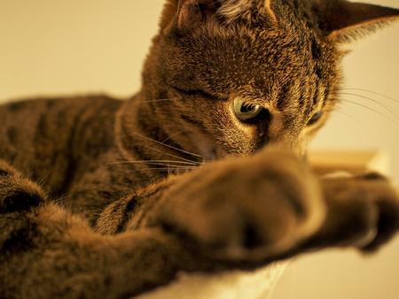 cute Savannah cat with paw in foreground Lizenzfreie Bilder