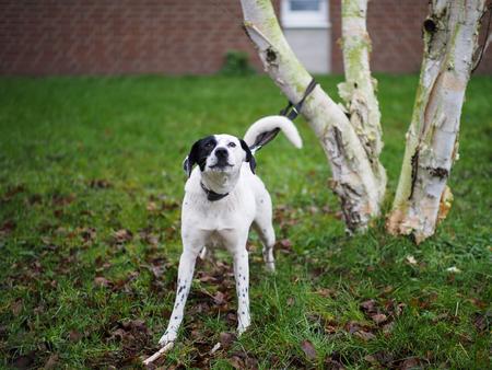 Hund mit Leine Blick in die Kamera Lizenzfreie Bilder