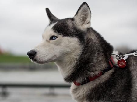 Porträt von Husky Hund mit Leine