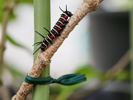 Caterpillar auf Blatt auf Ishigaki Island