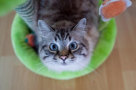 Birman cat looking at camera Stock Photo