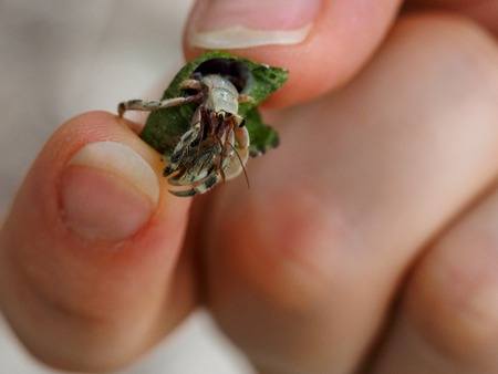 smal: smal crab in human hand