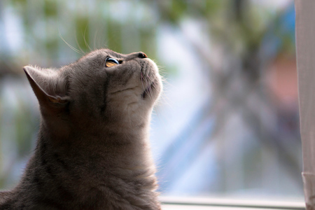 British Shorthair before window Standard-Bild - 89583786