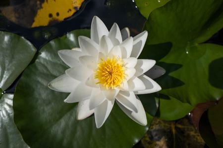 Weiße Wasserlilie im Botanischen Garten
