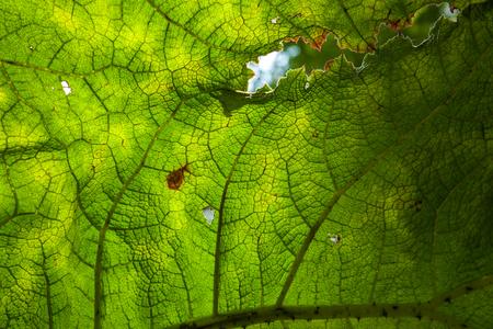 Arctium Lappa im Botanischen Garten