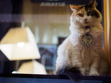 Kishi, Japan - October 07: Cat Station Master Nitama in on duty on October 07 in Kishi, Japan