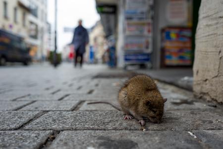 Kranke Ratte auf einem Holzsteg