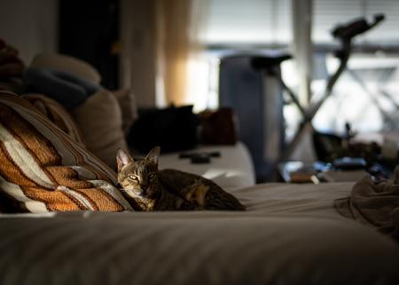 Photo of a Savannah cat Фото со стока