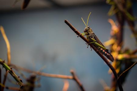 Large locust in Frankfurt Zoo