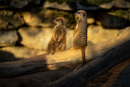 Two Meercats in Frankfurt zoo Фото со стока