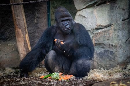 Male gorilla with food in Frankfurt Zoo Фото со стока - 120509878
