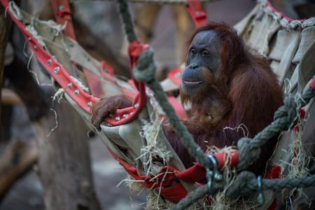 Orangutan with baby in Frankfurt zoo Фото со стока - 120509884