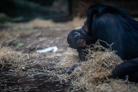 A baby ape in Frankfurt Zoo Фото со стока - 120509893