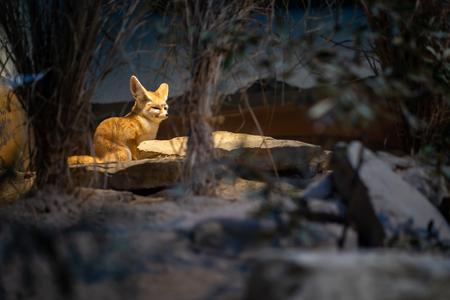 A small desert fox in Frankfurt Zoo