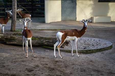 Two gazelles in Frankfurt Zoo Фото со стока - 120510570