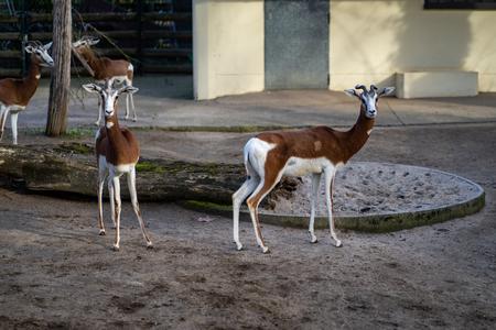 Two gazelles in Frankfurt Zoo Фото со стока