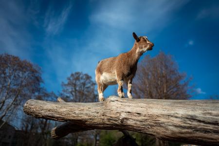 Small goat in Frankfurt Pettingzoo