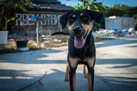 Street dog in Koh Lipe, Thailand. Фото со стока - 120512386