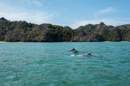 Dolphins at Mangroves tour in Kilim Karst Geoforest, Langkawi Фото со стока - 120512650