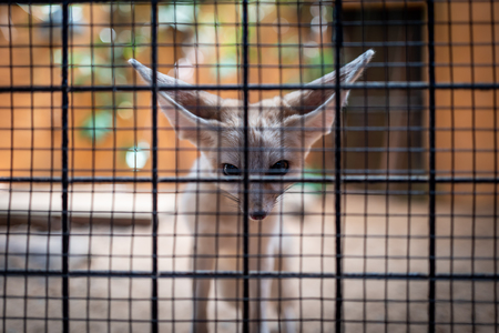 Desert Fox at Langkawi Wildlife Park Фото со стока