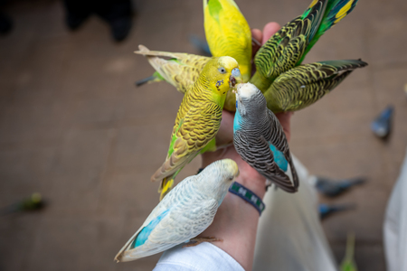 Lovebirds fight for food on male hand