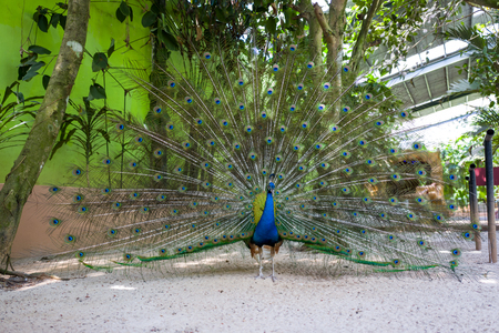 A Peacock shows its feathers