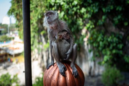 Monkey with baby at Batu Caves Kuala Lumpur Фото со стока - 120513331