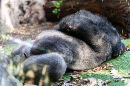 A sleeping gorilla in the Loro Parque on Tenerife Stock Photo