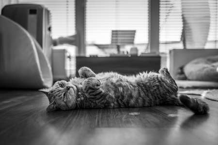 A grey British Shorthair cat