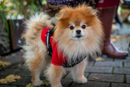 A cute and young pomeranian dog Standard-Bild