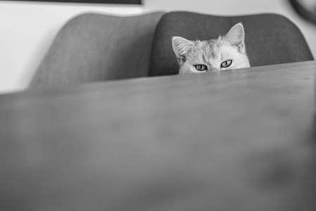 a cute british shorthair cat at a table