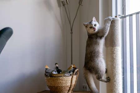 A cute british shorthair cat on a scratch post Standard-Bild