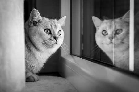 Portrait of cute british shorthair cat at window Standard-Bild