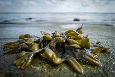 Seaweed at the beach of Wilhelmshaven Standard-Bild