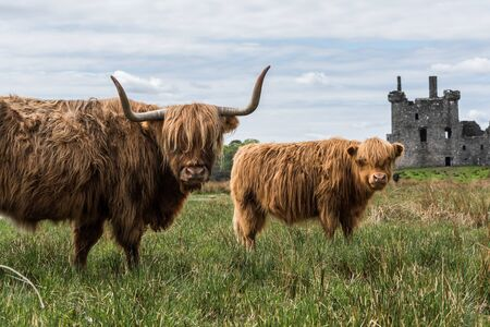 Highland cattle in front of castle ruins