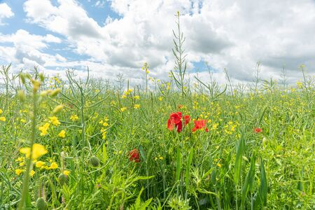 red poppies in green sunny meadow Stockfoto