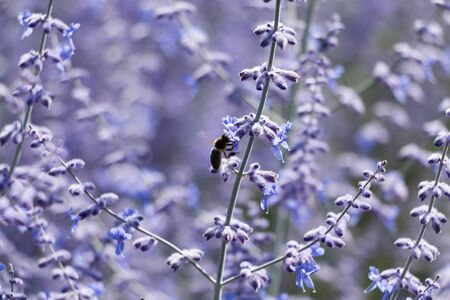 contryside: russian sage flower with bee close-up in contryside Stock Photo