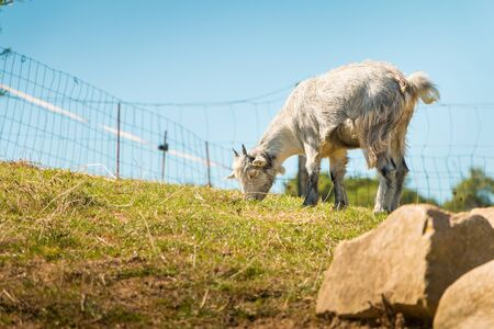 dwarf goat grazing in a green meadow, with stones in the foreground Stock Photo
