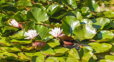 white water lily in flower on a pond