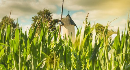old windmill hidden behind corn cobs in France Stock Photo