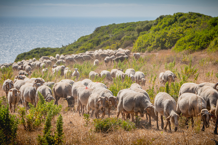 flock of sheep in a grassland by the sea near Sesimbra, Portugal Stok Fotoğraf