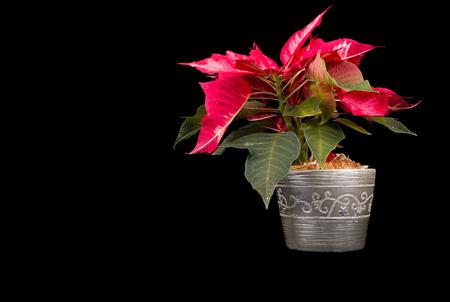 Christmas Eve Flower or Poinsettia on black background