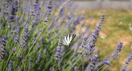 butterfly Iphiclides podalirius flying in a lavender foot in summer in France Stockfoto