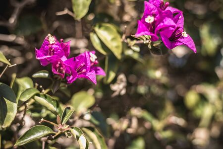 bougainvillea flower on a sunny winter day in Portugal